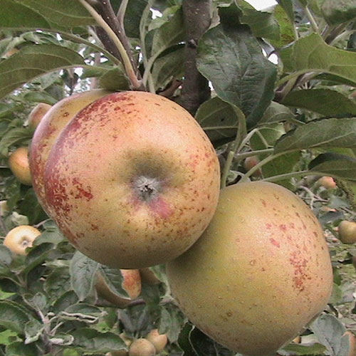 Images Of Apple Fruit Tree