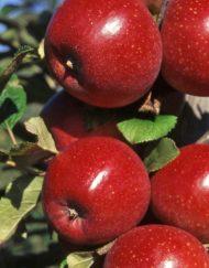 apache apple