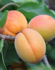 apricot-delicot-flavorcot-(2)