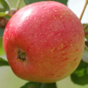 irish-peach apple