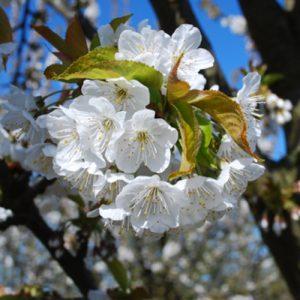 lapins-flowering