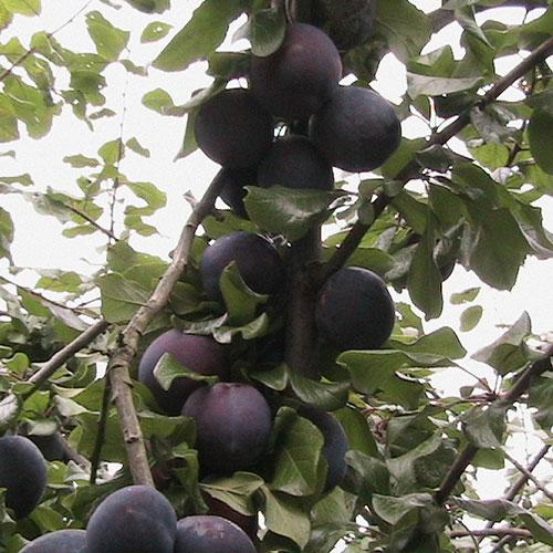 Edward-seedling plum