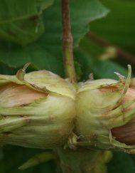 halls-giant-nut