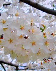 weeping yoshino cherry