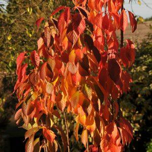 amanagowa-autumn-colour