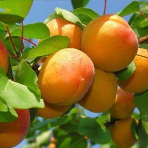 aprigold apricot