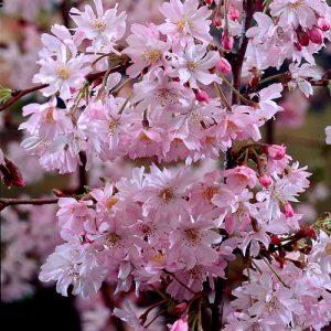prunus autumnalis_rosea