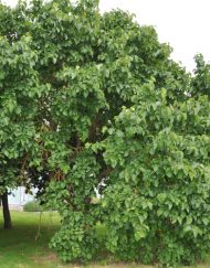 black-mulberry tree