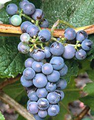 brandt-grape