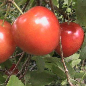 cerasus-maynard-cherry-plum