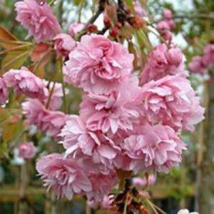 cheals-weeping-flower