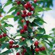 cherry-plum-cerasus-maynard