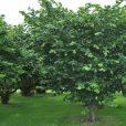 cobnut-tree