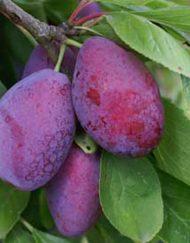 giant-prune