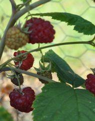 glen-ample raspberry