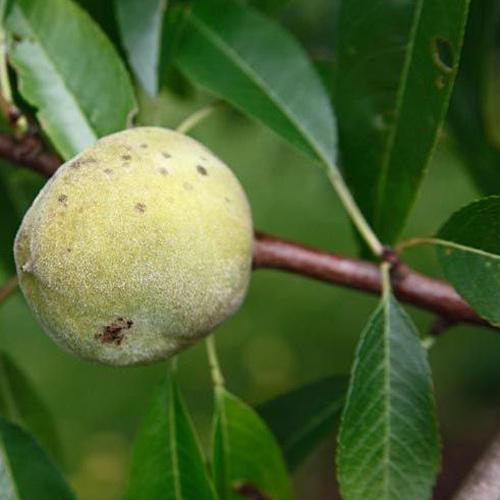 ingrid almond