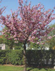 kanzan cherry