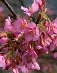 kursar-flower