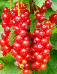 laxtons no1 redcurrant