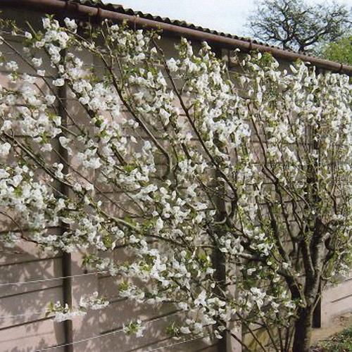 Morello Southern Fruit Trees