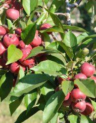 neville-copeman- crab apple
