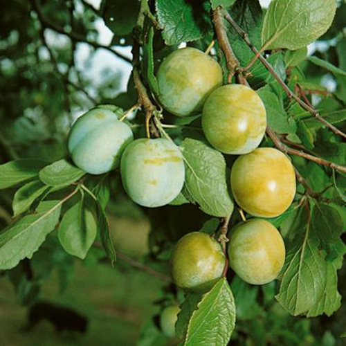 old-greengage plum