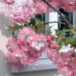 pink-perfection-flowers