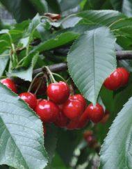 stella cherry 2