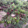 summer-sun cherry
