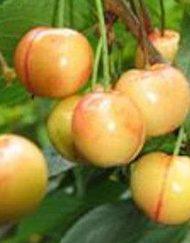 vega cherry