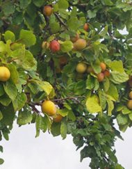 warwickshire-drooper plum