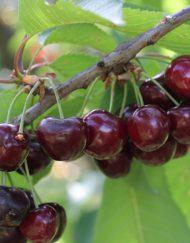 merchant cherry