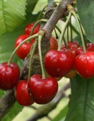 colney cherry