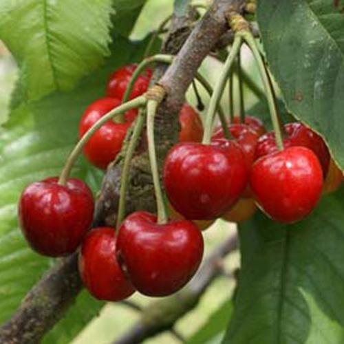colney cherry