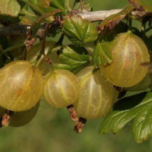 hinomaki-yellow gooseberry