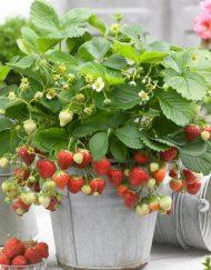 honeoye strawberry