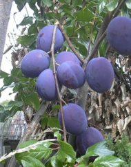 kirkes-blue plum