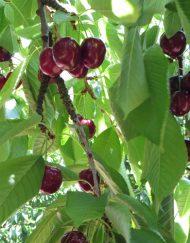 merton-bigarreu cherry
