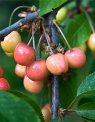 merton-glory cherry