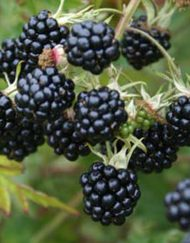 oregon-thornless blackberry