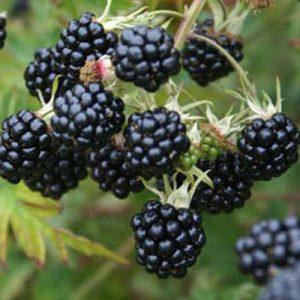 oregon-thornless blackberry