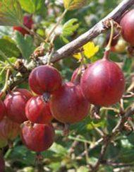 pax gooseberry
