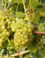 phoenix grape