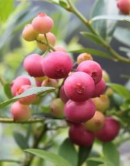 pink-lemonaid blueberry