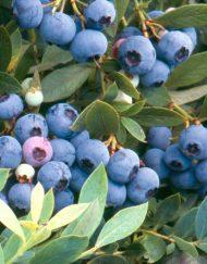sunshine-blue blueberry