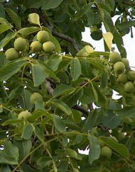 walnut_tree