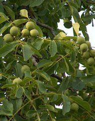 walnut_tree