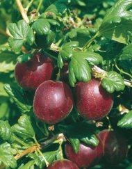 whinhams industry gooseberry
